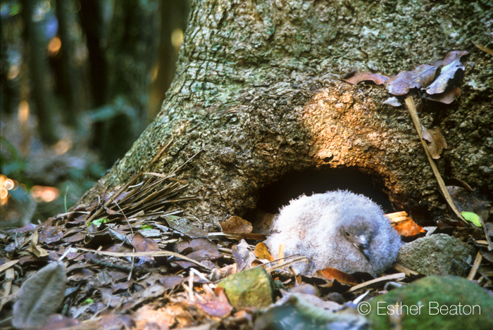 Gould's Petrel chick