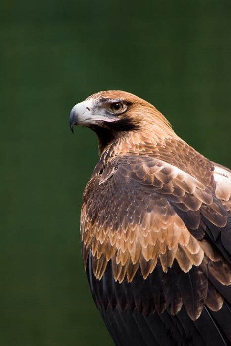 Wedge-tailed eagle Raptor rehab story