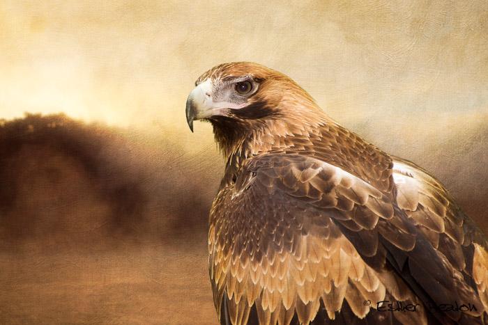 Wedge-tailed Eagle portrait. Noble Spirit