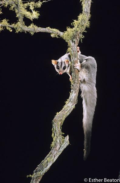 Squirrel Glider (Petaurus norfolcensis) Southeastern Australia. Threatened species