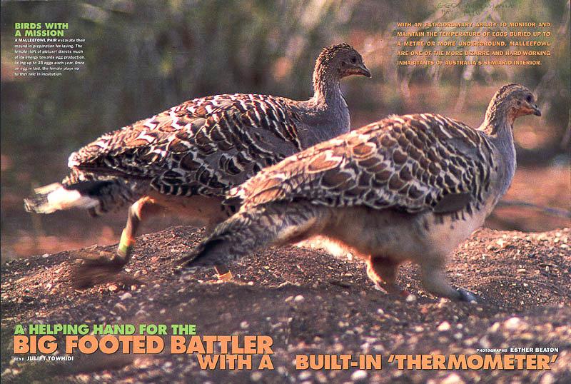 Big footed Battler feature about Malleefowl in International Wildlife magazine