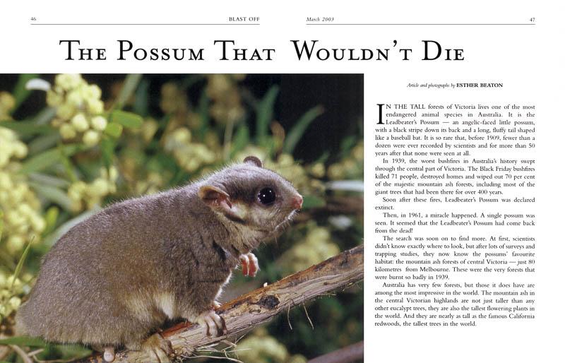 The Possum that Wouldn't Die - Leadbeaters Possum - Blast Off magazine