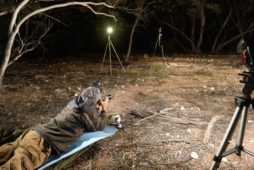 Wayne Lawler, staff photographer for Australian Wildlife Conservancy, photographing Boodies and Woylies at night with several flash units, Yookamurra Sanctuary, South Australia